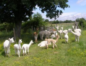 parc-animaux-alpagas-proche-camping-lac-hautibus